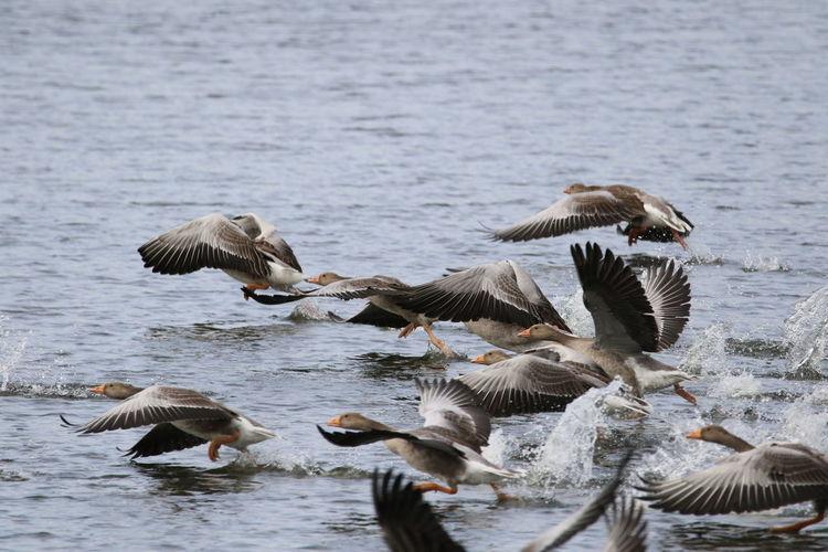 Greylag geese landing on  lake