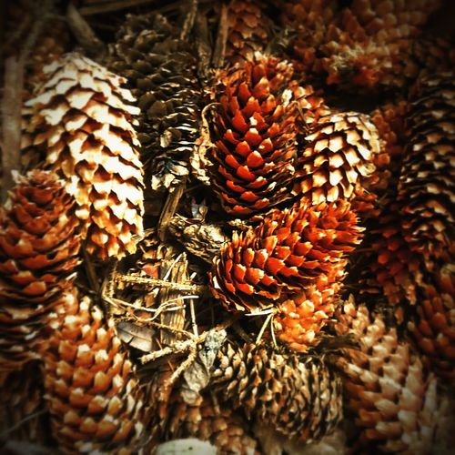 Close-up of pine cone