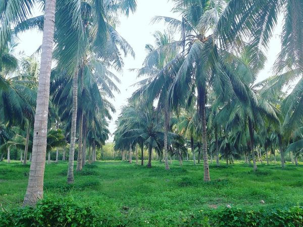 Tree Growth Grass Green Color Nature Beauty In Nature No People Outdoors Day Tree Trunk Plam Plam Trees Coconut Palm Tree Coconut Trees Coconut