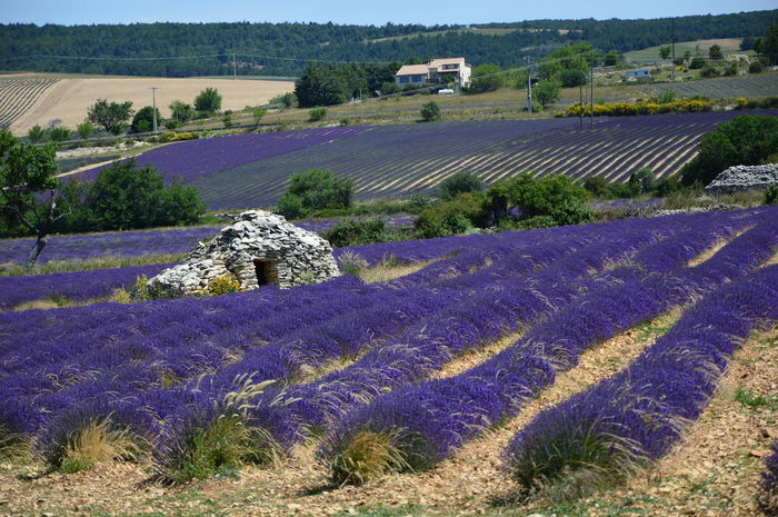 Borie en South of France ,Provence Borie En South Of France ,Provence Lavender Field Provence Provence Alpes Cote D'azur Agriculture Beauty In Nature Borie Borie En South Of France Environment Field Flower Flowerbed Flowering Plant Growth History House Of Stones Land Landscape Lavender Nature No People Plant Purple Rural Scene Stones