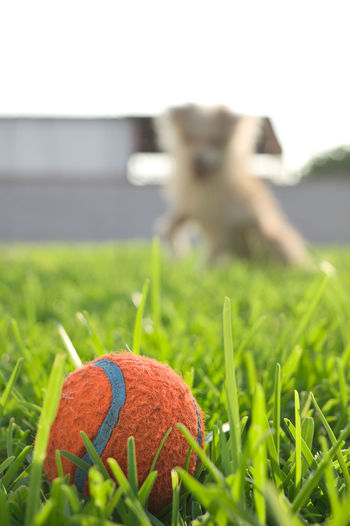 Close-up of a dog ball on field