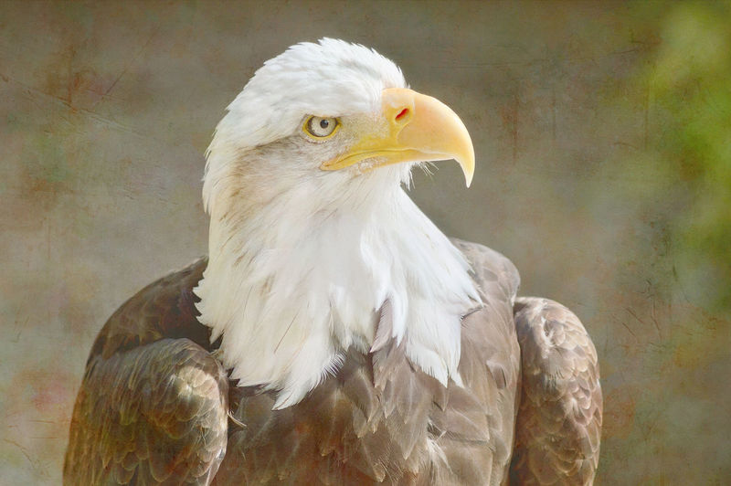 Majestic Eagle with Art Texture Adler Yellow White Bird Animal Themes Animal One Animal Vertebrate Animal Wildlife Animals In The Wild Eagle Bird Of Prey Close-up Beak Looking No People Looking Away Day Nature Focus On Foreground Outdoors Bald Eagle White Color Animal Head