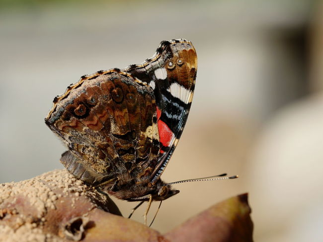 Red admiral Animals Autumn Bad Fruit Butterfly Insect Macro Nature No People Outdoors Perspective Red Admiral Rotten Fruit Focus On Foreground Beauty In Nature From My Point Of View Taking Photos Close-up Close Up Animal Themes