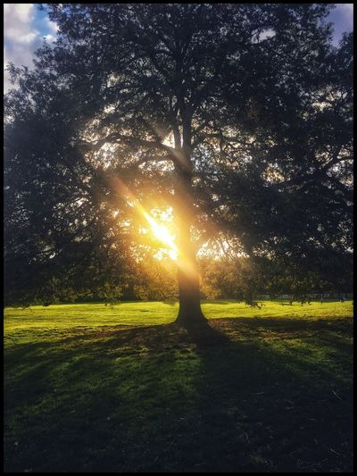 Sun through a tree EyeEm Best Shots EyeEm Gallery EyeEm EyeEm Selects Eyemphotography Eye4photography  Enjoying Life Relaxing EyeEmBestPics The Week on EyeEm Sunlight Tree Plant Nature Sky Beauty In Nature Scenics - Nature Tranquility Park Tranquil Scene Shadow Lens Flare Field Sun Sunset Sunbeam Grass Land Growth Green Color