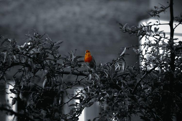 Bird Photography Robin Eyeem Colorkey Colorsplash