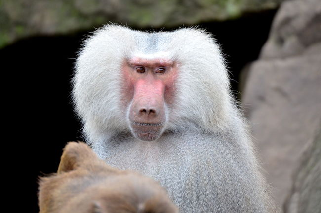 Animal Themes Animal Wildlife Animals In The Wild Baboon Portrait Close-up Day Focus On Foreground Looking At Camera Mammal Monkey Nature No People One Animal Outdoors Portrait