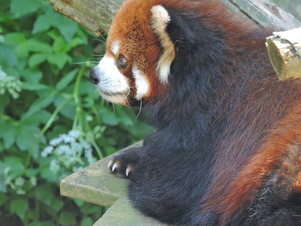 Animal Themes Animals In The Wild Close-up Day Mammal Nature No People One Animal Outdoors Red Panda