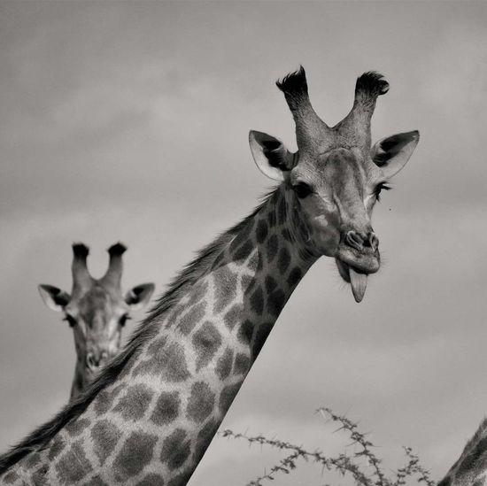 39/365 365 Day Challenge 366Project Monochrome Blackandwhite Animal Themes Animal Animal Wildlife Animals In The Wild Mammal Giraffe Sky