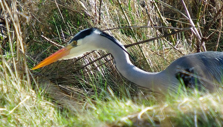 grey heron, Bird Animals In The Wild Animal Themes Nature Beak Non-urban Scene Birds Of EyeEm  Bird Watching Birds_collection Bird Photography Wildlife One Animal Heron