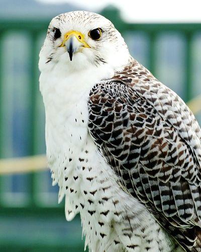 Close-up portrait of white hawk