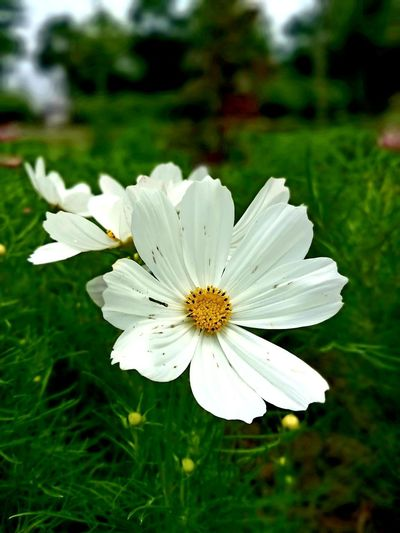 Beauty In Nature Close-up Day Field Flower Flower Head Flowering Plant Focus On Foreground Freshness Land No People Outdoors Plant White Color