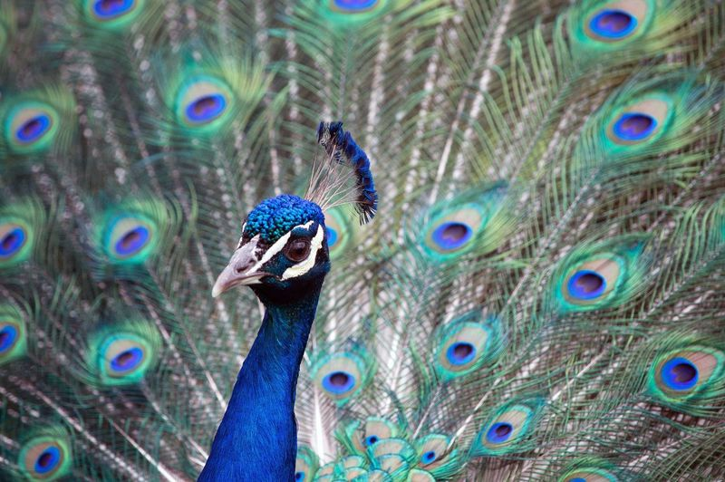 Close-Up Of Portrait Of Peacock With Fanned Out Feathers