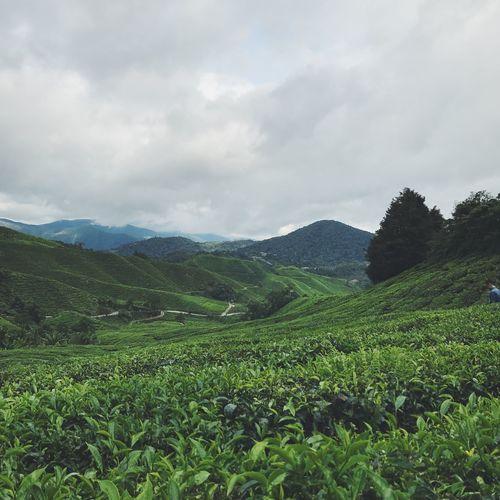 Cameron Highlands Teh Plantations Green Color Natural Beauty Landscape Malaysia Travel Destinations
