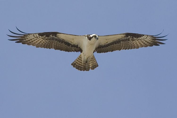 Eagle - Shorebird Eagle Animal Themes Animal Wildlife Animals In The Wild Bird Bird Of Prey Blue Clear Sky Copy Space Day Flying Full Length Low Angle View Mid-air Motion Nature No People One Animal Outdoors Shorebird Sky Spread Wings