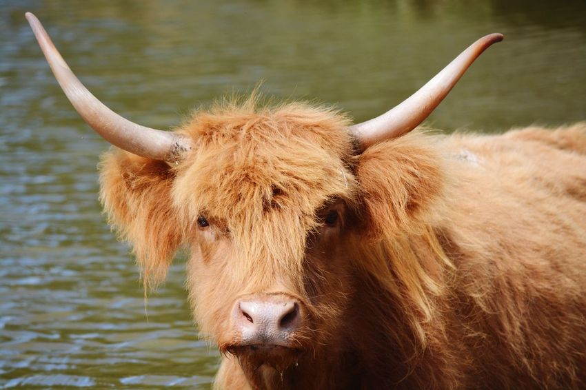EyeEm Selects Mammal Horned Animal Themes Domestic Animals One Animal Domestic Cattle Highland Cattle Livestock Cattle Cow Brown Focus On Foreground Standing Day Outdoors No People Nature Portrait Close-up Cows Long Hair