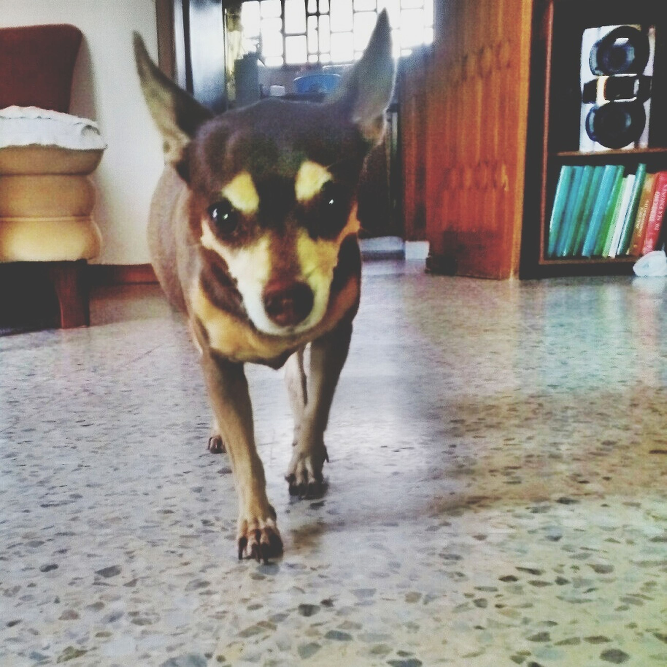 pets, domestic animals, one animal, animal themes, dog, mammal, portrait, looking at camera, sitting, animal head, no people, zoology, pet collar, close-up, focus on foreground, indoors, front view, animal, alertness