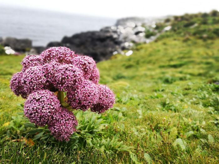 Anisotome latifolia - Flower head Anisotome Latifolia Sub Antarctics Campbell Island Megaherb Nature Sea Beauty In Nature Outdoors Tranquility Focus On Foreground Grass Flower No People Scenics Close-up Plant Flower Head