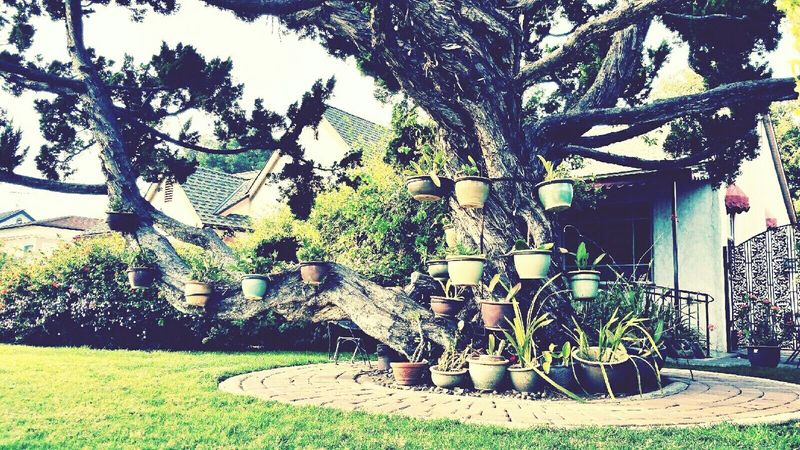 Intwined tree. Twisted and beautiful. Twisted Tangled Nature Photography MyPhotography LoveMyWork Covina Outside Front Yard Beautiful Mywork