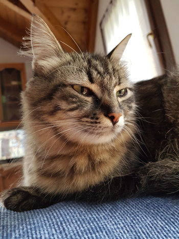 Pets Domestic Cat One Animal Domestic Animals Indoors  Animal Themes No People Mammal Close-up Day Pet Portraits