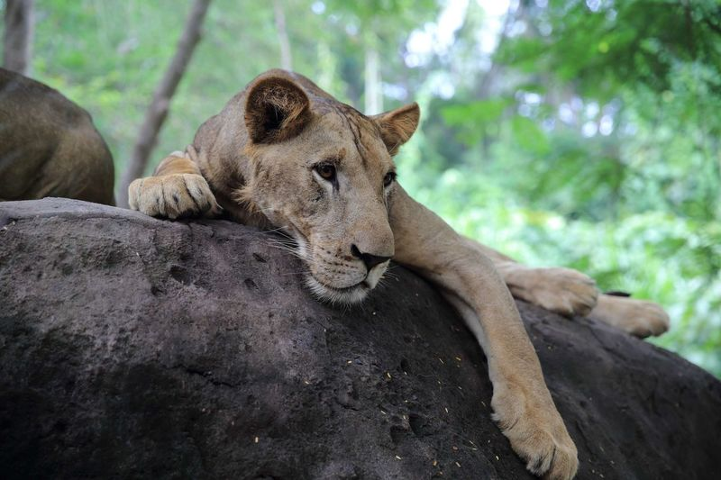 Low angle view of lioness relaxing on rock