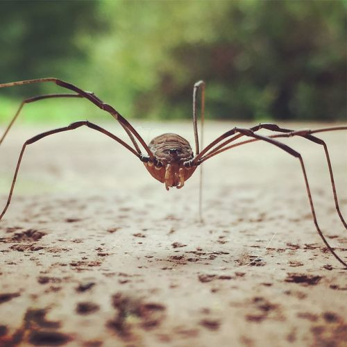 Close-Up Of Cellar Spider On Field