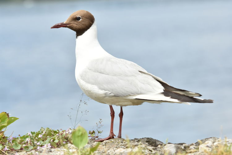 Close-Up Of Black-Headed Gull Perching On Rock
