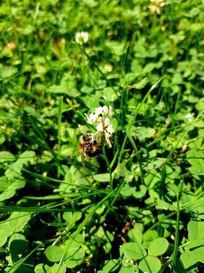 Honey Bee Green