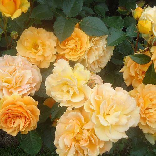 Ruusutarha Ruusuja Roses Rosegarden Jardinderosas Jardinderoses Rosas Yellow Tampere Tamperelove Visittampere Tre Suomi Finland Visitfinland Fotofanatics_flowers_