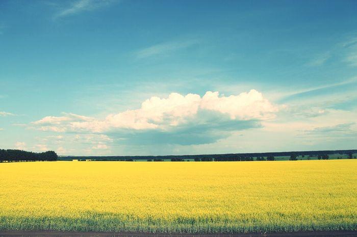 Nature , yellow field, Russia.