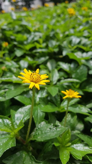 #Nature  #flowers #photography #green #grass #beautiful #closedup Flower Head Flower Yellow Leaf Petal Close-up Plant Green Color Blooming In Bloom Blossom Flowering Plant