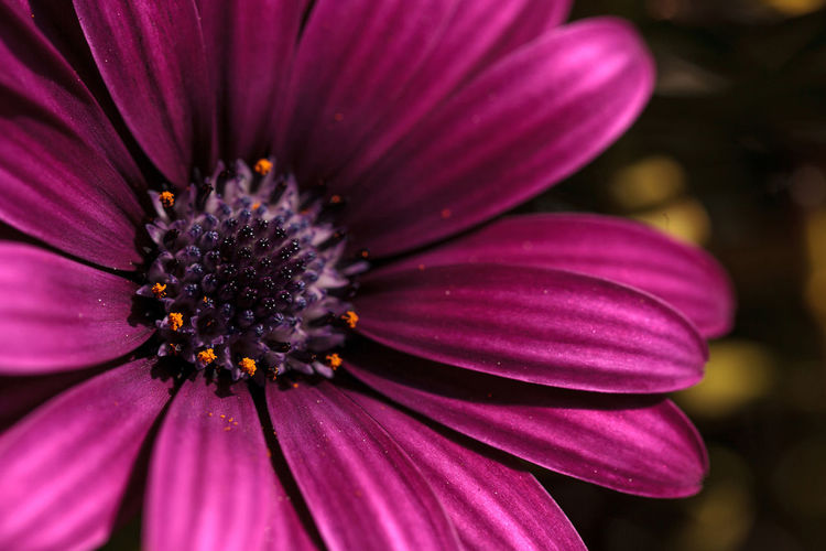 Macro of African daisy Osteospermum ecklonis blooms in purple, pink and white with yellow pollen in a botanical garden. African Daisy Beauty In Nature Close-up Daisy Day Flower Flower Head Fragility Freshness Garden Nature No People Osteospermum Ecklonis Outdoors Petal Purple Daisy Purple Flower Wild Flower