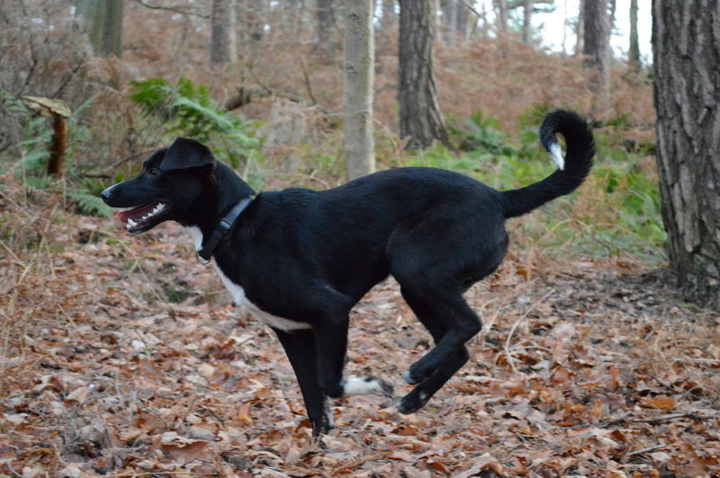 Black And With Do Dog Domestic Animals Full Length One Animal Running Time
