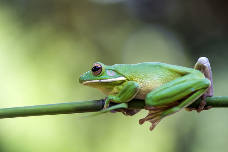 frog, tree frog, animal, Animal Themes Animal One Animal Animal Wildlife Focus On Foreground Animals In The Wild Green Color Close-up Vertebrate Nature No People Day Frog Plant Amphibian Plant Part Leaf Outdoors Animal Body Part Selective Focus Animal Eye Animal Head
