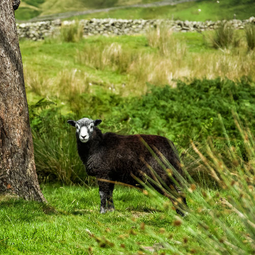 Black sheep stares at camera, in field with rock wall Rock Wall Animal Themes Animal Wildlife Animals In The Wild Black Sheep Day Field Full Length Grass Mammal Nature No People One Animal Outdoors Portrait Sheep Lake District EyeEmNewHere