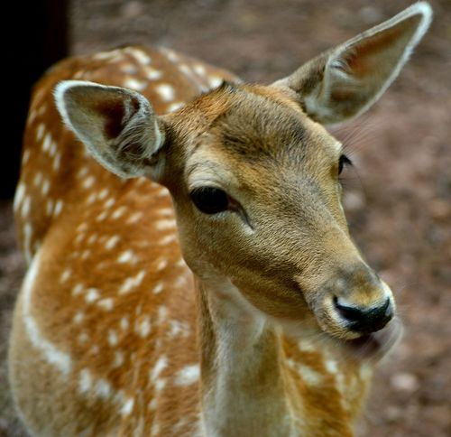 Animals Animal_collection Deer Reh Eyes Wildlife Beautiful Nature EyeEm Nature Lover Taking Photos Check This Out
