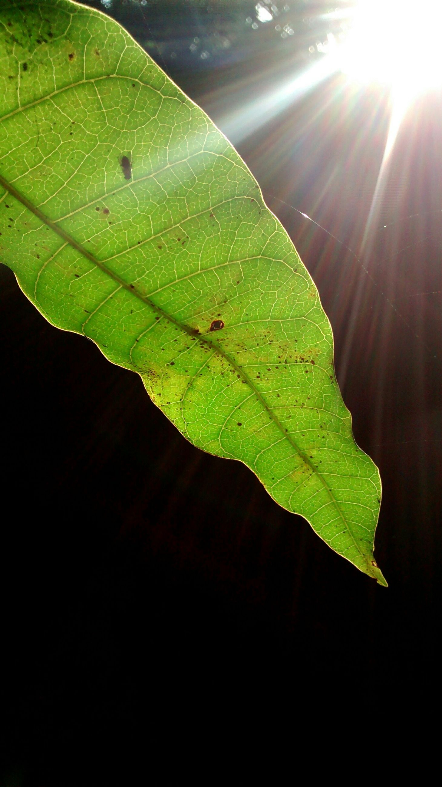 leaf, green color, sunlight, leaf vein, sun, sunbeam, close-up, nature, growth, plant, lens flare, beauty in nature, outdoors, no people, leaves, green, natural pattern, day, tranquility, focus on foreground