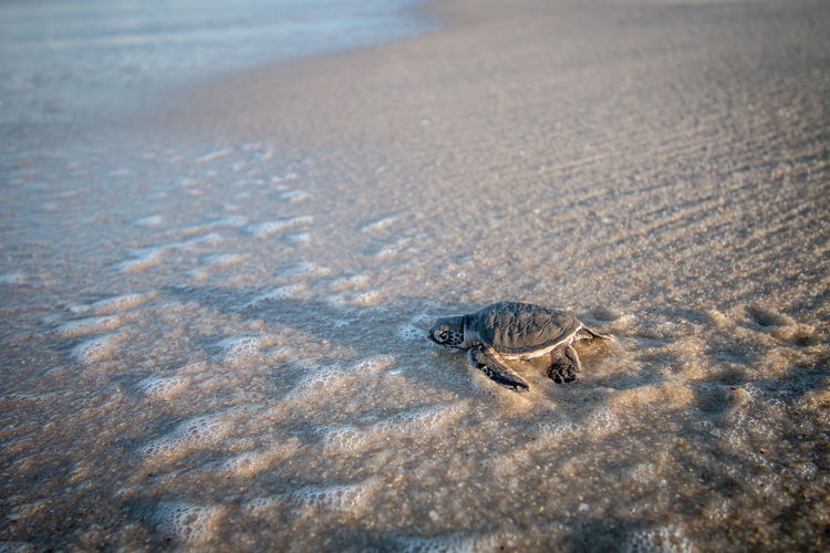 Sea turtle hatchling at beach