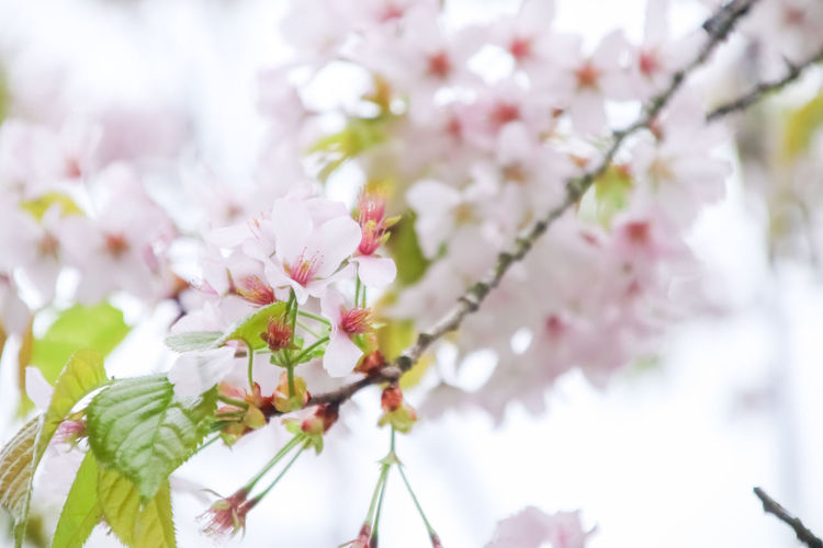 Cherry Blossom or Sakura flower on nature background Sakura Blossom Flower Cherry Background Isolated White Branch Spring Blooming Nature Japan Pink Japanese  Season  Tree Beautiful Petal Bloom Flowers Floral Macro Garden Natural Fresh Detail Oriental Soft Beauty Closeup Plant Botany Delicate