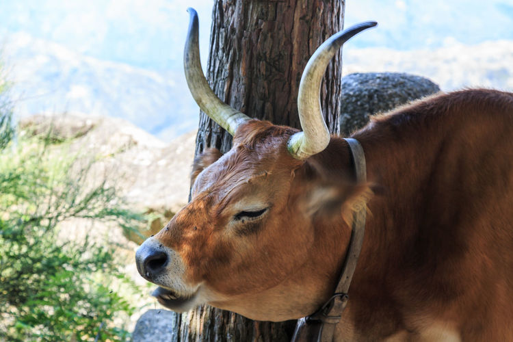 Gerês Portugal Caniçada Animal Themes Animal Mammal Vertebrate One Animal Animal Wildlife Domestic Animals Focus On Foreground Livestock Brown Land Nature Domestic Day Field Close-up Looking Pets No People Horned Animal Head  Outdoors Herbivorous Profile View