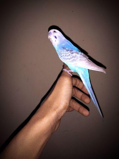 Bird Budgerigar