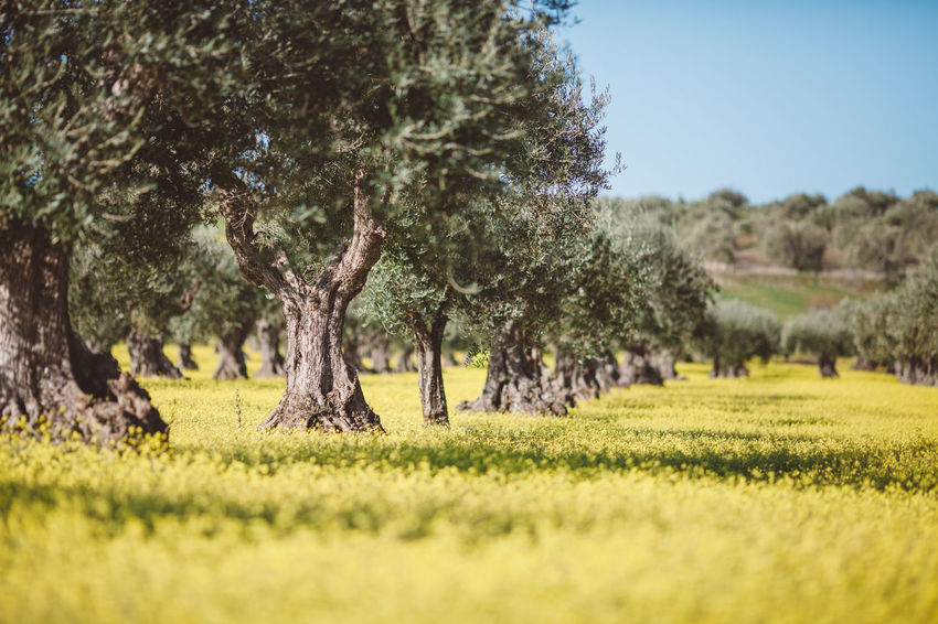 Olives Flower Nature No People Olive Outdoors Portugal Tree Yellow First Eyeem Photo Lost In The Landscape