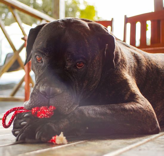 Animal Best Friends Big Dog Cane Cane Corso Dog Dog Love Dog Playing A Dogs Dogs Portrait Dogslife Enjoying Life Guardian I Italy Look In His Eyes Look In His I Our Best Pics Pet Pets Play Tiem Tourism