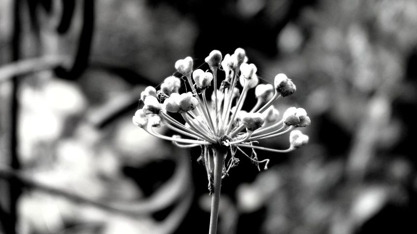 garlic flower Natural Structures Blackandwhite Atmospheric Mood Still Life Backgrounds Botanical Structures In Nature Shadows & Lights EyeEm Best Shots EyeEm Nature Lover EyeEm Selects EyeEm Best Shots - Nature EyeEm Best Shots - Black + White Monochrome Garlic Garlic Flower Flower Head Flower Close-up Plant Plant Life Botany Focus