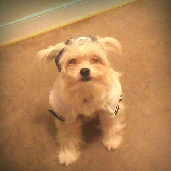 Handsome Teddy Footballplayer  Dogcontest