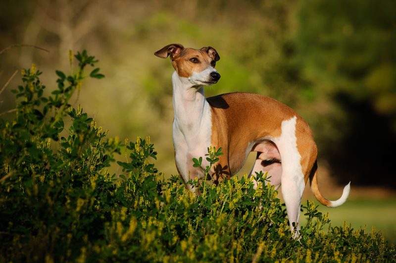 Italian Greyhound dog Animal Animal Themes Plant Pets No People One Animal Nature Standing Day Dog Outdoors Field Domestic Animals Italian Greyhound
