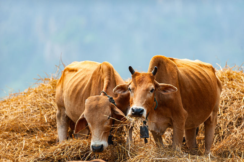 Full length of cows standing on hay