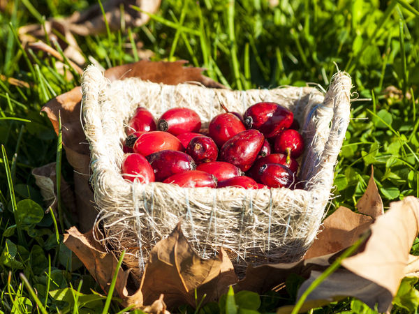 Autumn Autumn Colors Composition Eco Freshness Grass Nature Autum Fruit Backgrounds Basket Environment Freshness Fruit Fruits Hip Hips Homeopathy Nature Organic Organic Food Red Rosa Canina Rosa Canina Hips Wild Rose Wild Rose Hip