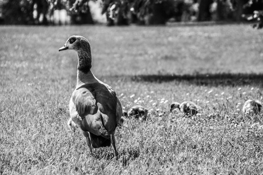 Alopochen Aegyptiaca Animal Animal Family Animal Themes Animal Wildlife Animals In The Wild B&w Bird Black And White Bnw Day Egyptian Goose Field Focus On Foreground Grass Group Of Animals Nature No People Outdoors Watching