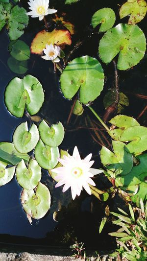 Flower Water Leaf Tree Lily Pad Water Lily Floating On Water Flower Head Close-up Plant Water Plant Pond Blossom