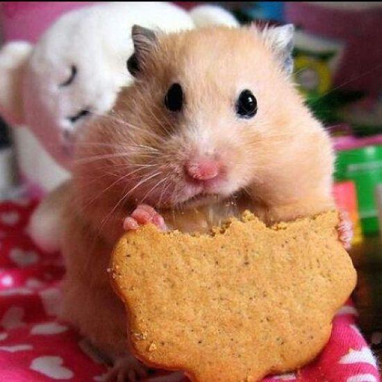 Hamster Looking Before Dinner Time Beautiful Hamster Followme Than Followback No_Editing